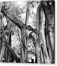 Ficus Altissima In Black And White Acrylic Print by K Simmons Luna