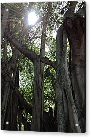 Ficus Altissima Acrylic Print by K Simmons Luna