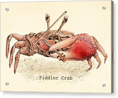 Fiddler Crab Acrylic Print by Eric Fan