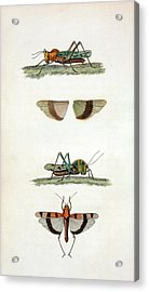 Field Crickets Acrylic Print by General Research Division/new York Public Library