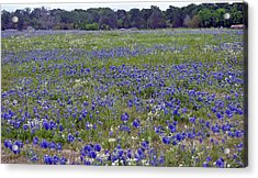 Field Of Bluebonnets Acrylic Print by Judith Russell-Tooth