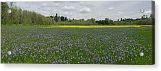 Field Of Camas And Western Buttercup Acrylic Print by John Higby