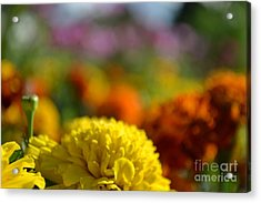 Acrylic Print featuring the photograph Field Of Carnations by Scott Lyons