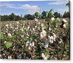 Field Of Cotton Acrylic Print