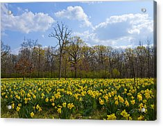 Field Of Daffodils At The Morton Arboretum Acrylic Print