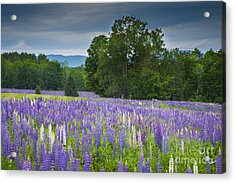 Field Of Dreams Acrylic Print by Alana Ranney