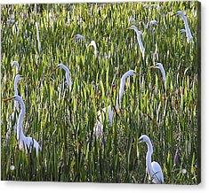 Field Of Egrets Acrylic Print