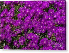 Field Of Flowers 2.1493 Acrylic Print by Stephen Parker