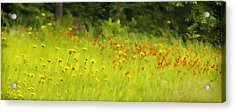 Field Of Indian Paintbrushes Acrylic Print
