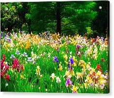 Field Of Iris Acrylic Print by Peggy Franz