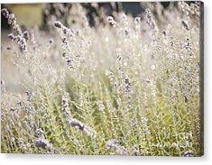 Field Of Lavender At Clos Lachance Vineyard In Morgan Hill Ca Acrylic Print