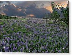 Field Of Lupine Acrylic Print