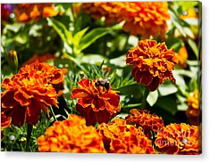 Field Of Marigolds Acrylic Print
