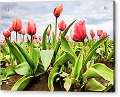 Field Of Pink Tulips Acrylic Print by Athena Mckinzie