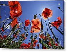 Field Of Poppies At Spring Acrylic Print by Sami Sarkis
