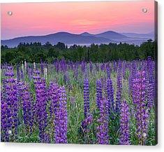 Field Of Purple Acrylic Print