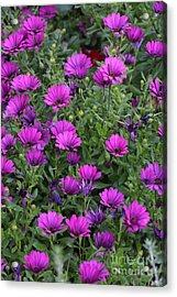 Acrylic Print featuring the photograph Field Of Purple by Ruth Jolly