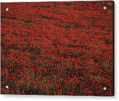 Field Of Red Poppies Acrylic Print by Ian Cumming