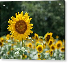 Field Of Sun Acrylic Print by Brian Young