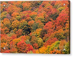 Field Of Trees From Above During Fall Foliage. Acrylic Print