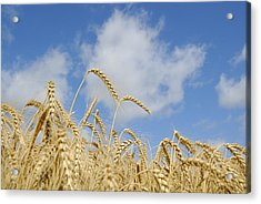 Field Of Wheat Acrylic Print by Charles Beeler
