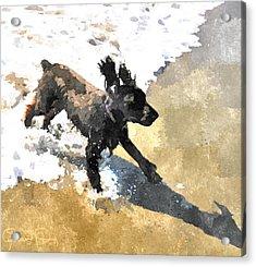 Field Spaniel Joy Acrylic Print