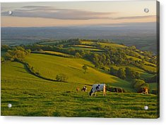 Fields And Cows In Devon Acrylic Print