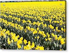 Fields Of Daffodils  Acrylic Print
