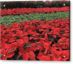 Fields Of Poinsettias Acrylic Print