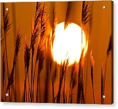 Fiery Grasses Acrylic Print