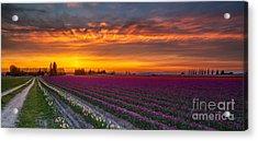 Fiery Skies Above Broad Tulips Acrylic Print