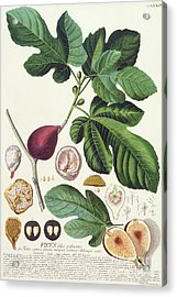 Fig Engraved By Johann Jakob Haid  Acrylic Print by German School