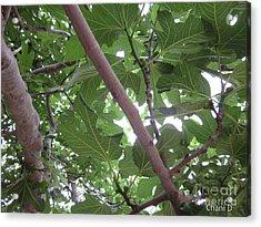 Fig Tree Acrylic Print