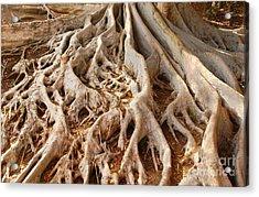 Fig Tree Roots In Balboa Park Acrylic Print