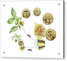 Fig Wasp Life Cycle Acrylic Print by Nicolle R. Fuller