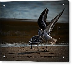 Fighting Sandpipers Acrylic Print
