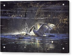 Fighting Swans Boxley Mill Pond Acrylic Print by Michael Dougherty