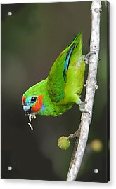 Figparrot Eating Figs Acrylic Print