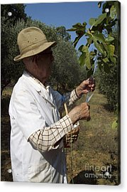 Fig's Harvest In Loppiano Acrylic Print