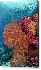 Fiji Fish And Coral Reef Acrylic Print by Jaynes Gallery