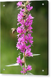 Final Approach - Bee On Purple Loosestrife Acrylic Print by Gill Billington