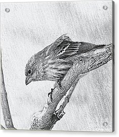 Finch Digital Sketch Acrylic Print