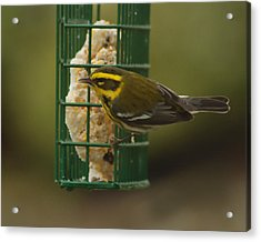 Finch On A Suet Acrylic Print by Ron Roberts