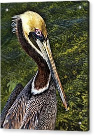 Pelican Close Up Acrylic Print