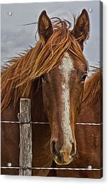 Fine Filly Acrylic Print by Mamie Thornbrue