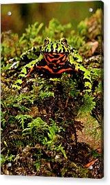 Fire Belly Toad Bombina Orientalis Acrylic Print by David Northcott