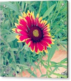 Fire Daisy Acrylic Print