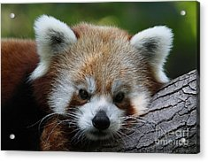Acrylic Print featuring the photograph Fire Fox by Judy Whitton