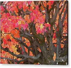 Fire Maple Acrylic Print by Laura Yamada