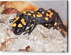 Fire Salamander (salamandra Salamandra) Acrylic Print by Photostock-israel
